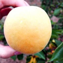 代县胡峪乡望台村现有大量白水杏急需出售